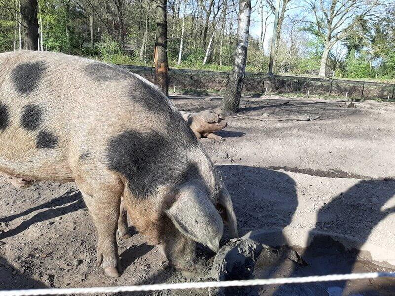 KeeK op de WeeK 15- Varkens, Brood, Bloem, Bakje en UFO? 17 varkens KeeK op de WeeK 15- Varkens, Brood, Bloem, Bakje en UFO?